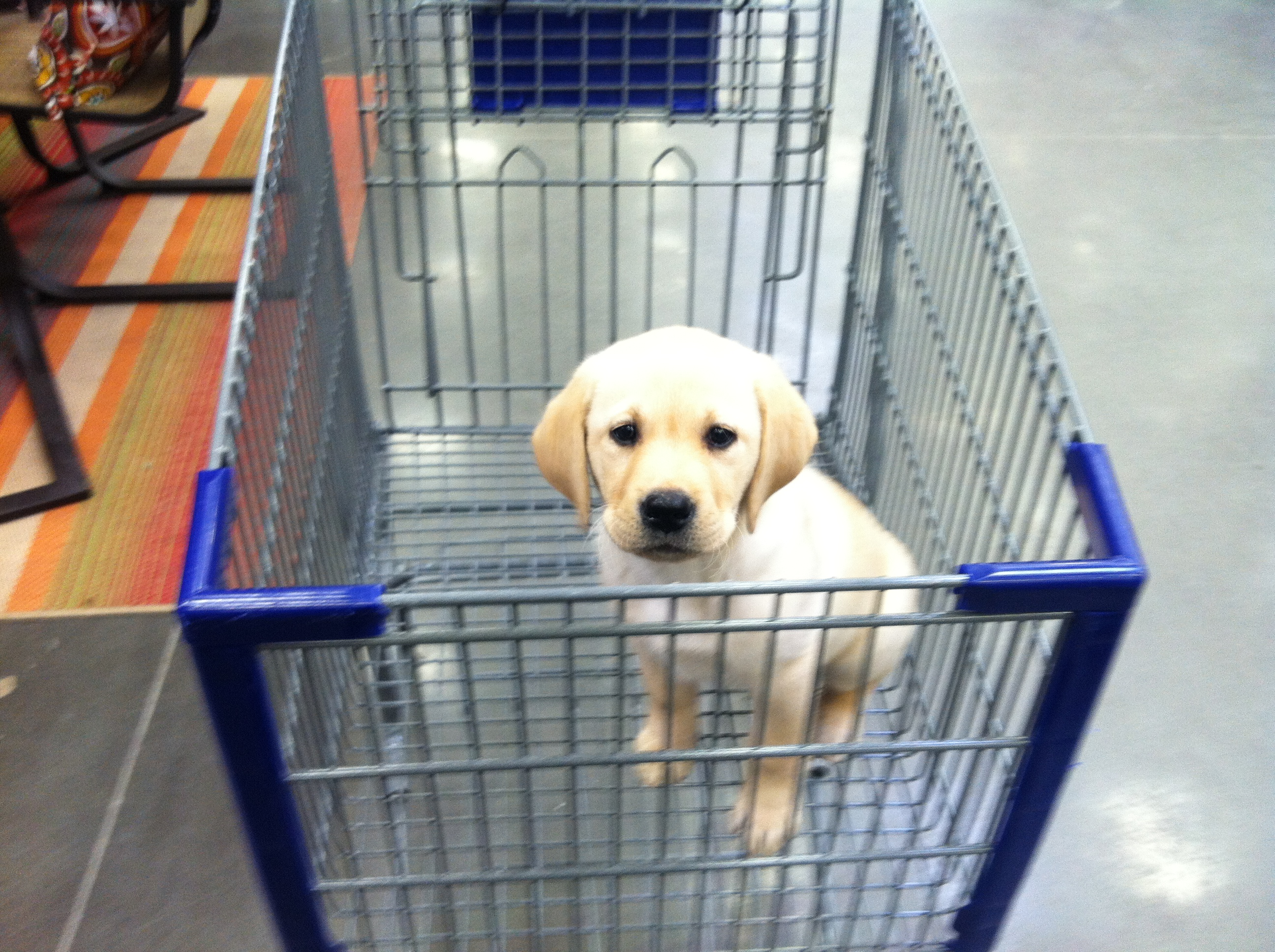dog-vs-rug-blog---puppy-in-shopping-cart.jpg